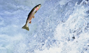Rainbow trout leaping falls North America